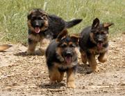три немецкие щенки овчарки